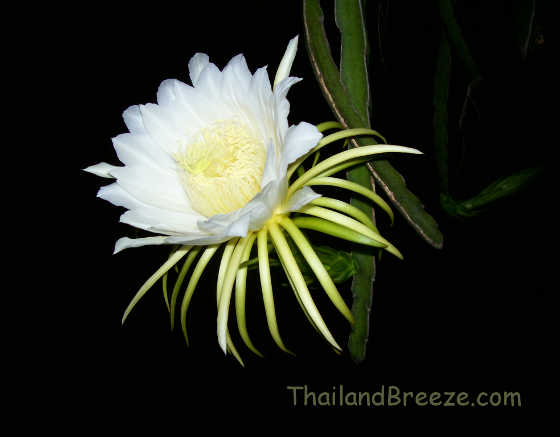 A dragon fruit flower in full bloom at night, in Thailand.