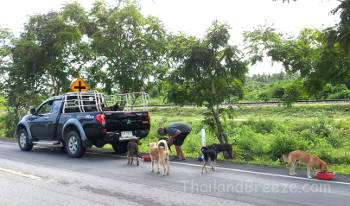 A man feeds stray dogs along the road in Thailand.