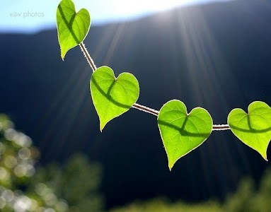 Young heart-shaped leaves in the sunlight.