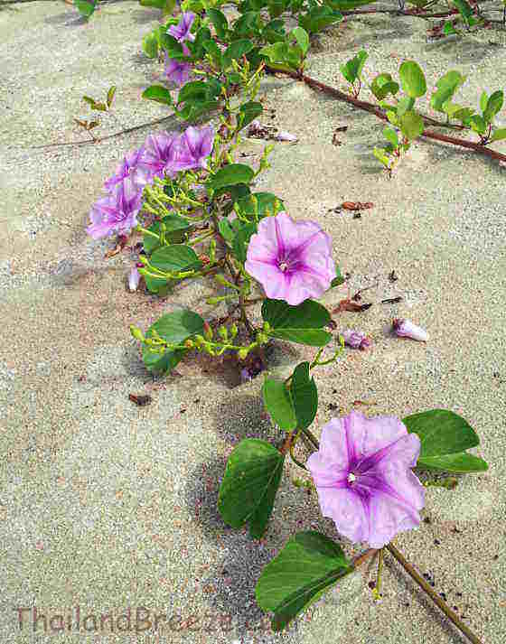Morning glory with purple flowers on the beach, in Thailand.
