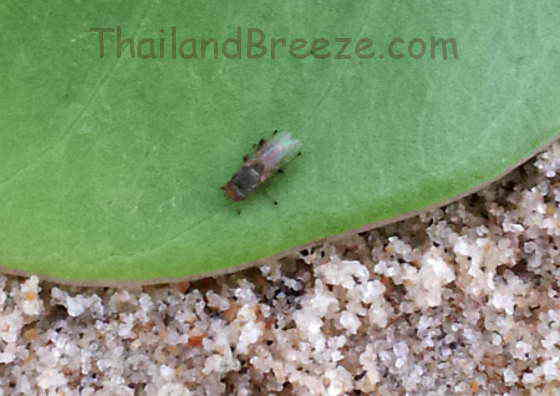 A sandfly sitting on a leaf in the sand, in Thailand.