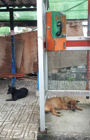 There are many stray dogs in Thailand. Here is one resting in a phone booth.