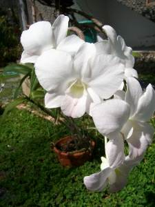 Orchid growing in a wooden basket in Thailand