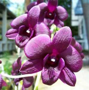 Certain purple orchids in Thailand look like velvet