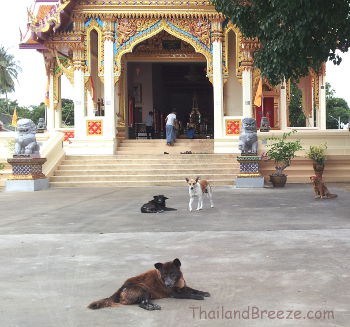 Buddhist temples in Thailand are often shelters for stray dogs.