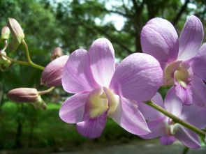 Thai orchids are world famous