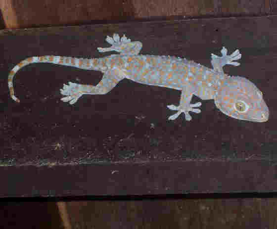 A tokay gecko in Thailand