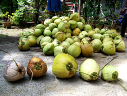 Young and ripe coconuts in Thailand